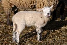 Free Lamb Stock Photography - 16450042