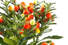 Free Berry Nightshade Royalty Free Stock Photos - 16451318