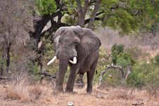 Free African Elephant Royalty Free Stock Images - 16453329