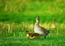 Free Duck Stock Photos - 16453773