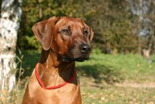 Free Head Of The Rhodesian Ridgeback Stock Photo - 16454020
