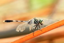 Free Spotted Dragonfly Detail Stock Photos - 16454333