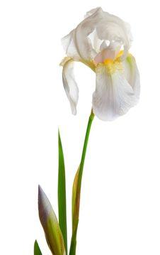 Free Spring Pastel Iris Stock Photos - 16454373