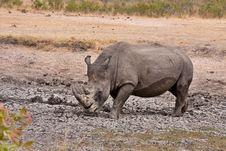 African White Rhinoceros Stock Photo