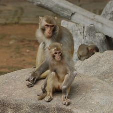 Free Monkeys Royalty Free Stock Photos - 16455808