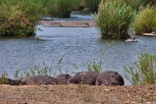 Free Hippopotamus In River Royalty Free Stock Image - 16455826