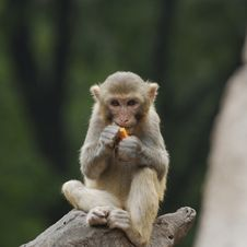 Free Monkey Stock Images - 16455884
