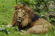 Free Lion Royalty Free Stock Photography - 16455957