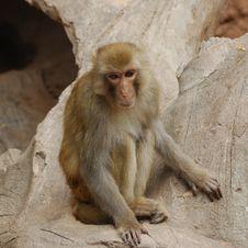 Free Monkey Royalty Free Stock Photo - 16455965