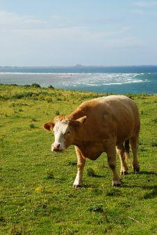 Free A Walking Cow Stock Photo - 16456320