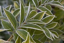 Free Green Leaves  With  Frost Royalty Free Stock Images - 16457879