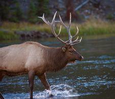 Free Elk Royalty Free Stock Photo - 16457995
