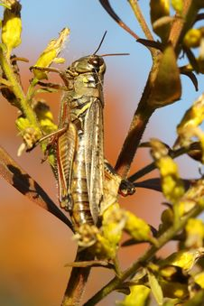 Free Differential Grasshopper Stock Image - 16458311