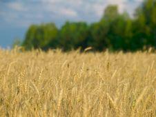 Free Wheat Fields Royalty Free Stock Photo - 16458445