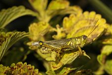 Free Differential Grasshopper Stock Images - 16459634