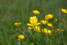 Free Buttercups Royalty Free Stock Photos - 16459688