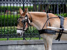 Free Carriage Mule Royalty Free Stock Photography - 16459757