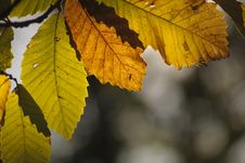 Chestnut Leaves In Autumn Light Royalty Free Stock Photo