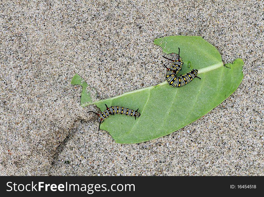 Monarch butterfly caterpillars