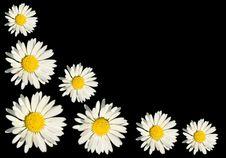 Free White Daisy Stock Image - 16460181