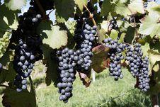 Free Vineyard Royalty Free Stock Images - 16461309