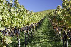Free Vineyard Royalty Free Stock Image - 16461396