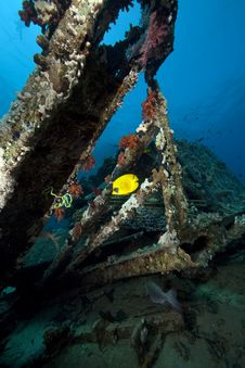 Free Butterflyfish On Cargo Of The Yolanda Wreck Royalty Free Stock Image - 16461846
