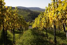 Free Vineyard Stock Photo - 16461850