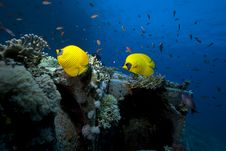 Free Butterflyfish On Cargo Of The Yolanda Wreck Stock Images - 16461874