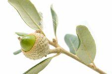 Free Oak Acorns Stock Photos - 16461883