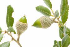 Free Oak Acorns Royalty Free Stock Image - 16461976