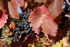Free Vineyard Stock Image - 16462351