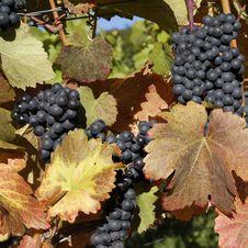 Free Vineyard Stock Images - 16462634