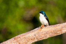 Free Tree Swallow On Branch Royalty Free Stock Image - 16463296