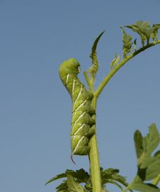 Caterpillar Eating A Tomato Plant Stock Photography