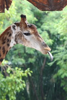 Free Closeup Of Giraffe. Stock Photography - 16463702