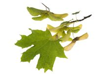 Green Leaves Of Maple Trr With Its Seed Royalty Free Stock Photography