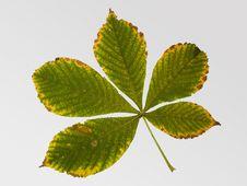 Autumn Leaf Of Chestnut Tree Stock Photos