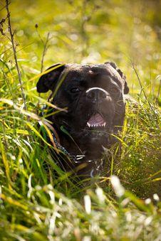 Free Boxer Dog Outdoor Royalty Free Stock Photos - 16465538