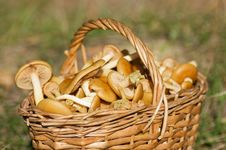 Basket With Mushrooms In Forest Royalty Free Stock Images