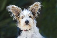 Free 14 Week Old Jack Russel Puppy Royalty Free Stock Photos - 16467068