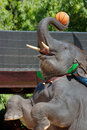 Free The Thai Elephant Playing The Basketball Royalty Free Stock Images - 16479509