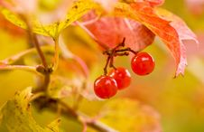 Berry Guelder-rose Red Stock Image