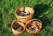 Free Wicker Baskets With Mushrooms On Green Grass Stock Images - 16472124