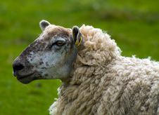Free Sheep Stock Photos - 16472633