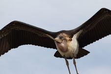 Free Marabou Stork Royalty Free Stock Photo - 16474865