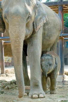 Free Relationship, Thai Elephant Stock Photography - 16478862