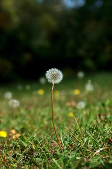 Free Dandelions In A Field Stock Images - 16479414