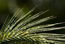 Free Dew Drops On Grass Spikelet Royalty Free Stock Photo - 16479635