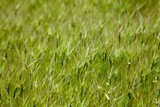 Free Texture Of Goat Grass Meadow Stock Photography - 16479652